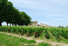 Vineyard at world-famous St Emilion, France Stock Photo