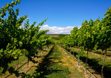 Vineyard of Yakima Washington. Under a bright blue sky, grape vines ripen in the Yakima Valley of Washington state Stock Photography