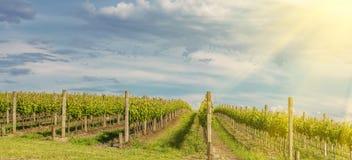 Vineyard in Yarra Valley, Australia Stock Photo