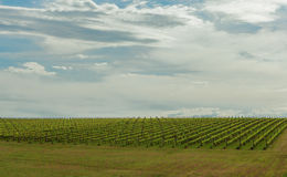 Vineyard in Yarra Valley, Australia Royalty Free Stock Photos
