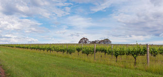 Vineyard in Yarra Valley, Australia Stock Image