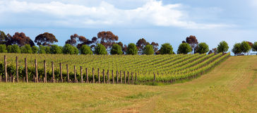 Vineyard in Yarra Valley, Australia Royalty Free Stock Image