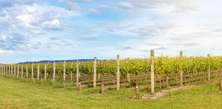 Vineyard in Yarra Valley, Australia Stock Photos