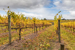Vineyard in Yarra Valley, Australia in autumn Stock Images