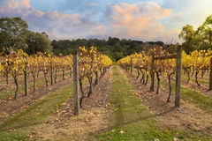 Vineyard in Yarra Valley, Australia in autumn Royalty Free Stock Image