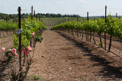 Vineyard at Yehuda mountains Royalty Free Stock Photos