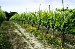Vineyard & Yellow Flowers, Montepulciano, Italy Stock Photos