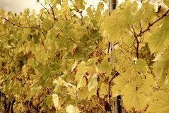 Vineyard with yellow leaves Royalty Free Stock Photography