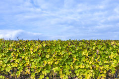 Vineyard  with yellow leaves under blue sky. Vineyard in october with yellow leaves under blue sky Royalty Free Stock Image