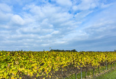 Vineyard  with yellow leaves under blue sky. Vineyard in october with yellow leaves under blue sky Stock Image