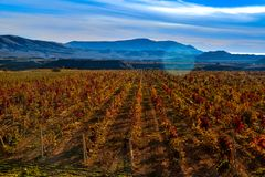 Vineyard with yellow-red leaves in autumn at sunset. Rows of vines in a vineyard with yellow-red leaves in autumn in the rays of the setting sun royalty free stock photography