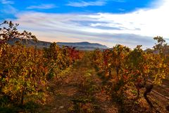 Vineyard with yellow-red leaves in autumn at sunset. Rows of vines in a vineyard with yellow-red leaves in autumn in the rays of the setting sun stock photography