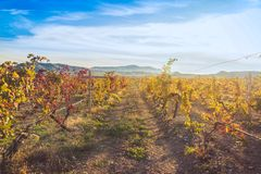 Vineyard with yellow-red leaves in autumn at sunset. Rows of vines in a vineyard with yellow-red leaves in autumn in the rays of the setting sun royalty free stock images