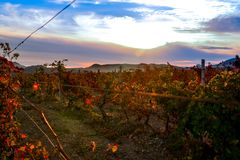 Vineyard with yellow-red leaves in autumn at sunset. Rows of vines in a vineyard with yellow-red leaves in autumn in the rays of the setting sun royalty free stock photos