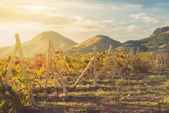 Vineyard with yellow-red leaves in autumn at sunset. Rows of vines in a vineyard with yellow-red leaves in autumn in the rays of the setting sun stock photo