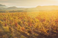 Vineyard with yellow-red leaves in autumn at sunset. Rows of vines in a vineyard with yellow-red leaves in autumn in the rays of the setting sun stock image