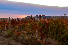 Vineyard with yellow-red leaves in autumn at sunset. Rows of vines in a vineyard with yellow-red leaves in autumn in the rays of the setting sun royalty free stock photo