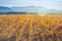 Vineyard with yellow-red leaves in autumn at sunset. Rows of vines in a vineyard with yellow-red leaves in autumn in the rays of the setting sun stock photos