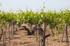 A young vineyard in the south of Italy stock photo