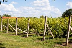 Vineyard- immature grapes in the countryside Stock Photography