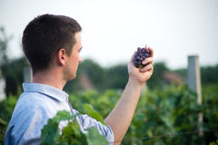 Vineyard. A young man holds grapes in hand Royalty Free Stock Images