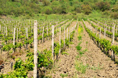 Vineyard. Young plants of grapes on a background of mountains and forest Stock Images