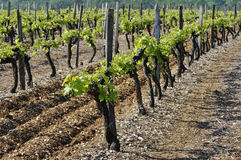 Vineyard with Young Vine Stock Images
