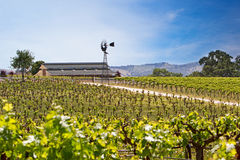 Vineyard with young vines Royalty Free Stock Image