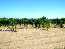 Vine yard stock images