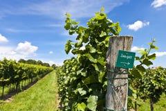 Vineyard of Zweigelt grape Royalty Free Stock Photography