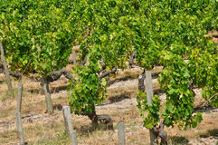 Vineyardin Saint Julien Beychevelle Stock Image