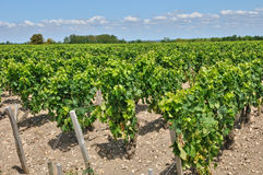 Vineyardin Saint Julien Beychevelle Stock Image