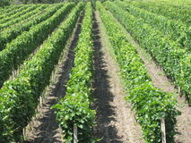 Vineyards. In Czech Republic, south Moravia Royalty Free Stock Photos