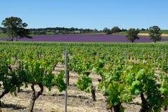 Vineyards. And wildflowers at Barossa Valley, Australia Stock Image