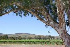 Vineyards. And eucalyptus at Barossa Valley, Australia Stock Photos