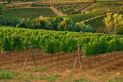 Vineyards. Stock Images