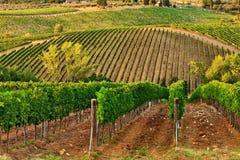 Vineyards. A vineyard hills at Chianti, Tuscany Royalty Free Stock Images