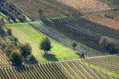 Vineyards. Several vineyards on e sunlit hill Stock Photography