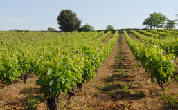Vineyards. In spring in south of france stock images