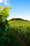 Vineyards. In germany with blue sky Royalty Free Stock Photography