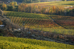 Vineyards. Autumn colours in the vineyard, Osoyoos, Canada Royalty Free Stock Photography