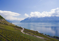 Vineyards. With blue lake and mountains view Royalty Free Stock Image
