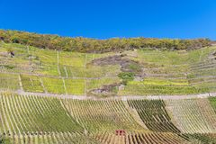 Vineyards. In the Ahr valley in autumn stock images
