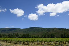 Vineyards. In the south-central Chile, with its green leaves in November Stock Photo