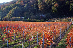 Vineyards. Swiss vineyards in autumn near the jura department royalty free stock images