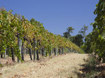 Vineyards. In Perth, Western Australia Royalty Free Stock Photography