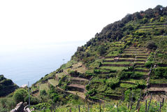 Vineyards. In Cinque Terre in Liguria, Italy. Cinque Terre is humanity's world patrimony stock photo
