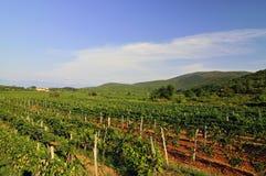 Vineyards. Land in South Croatia Royalty Free Stock Image