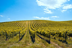 Free Vineyards Royalty Free Stock Photo - 9785005