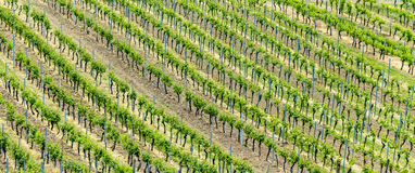 Vineyards abstract. Vineyards in spring gives a harmonic structure stock photography